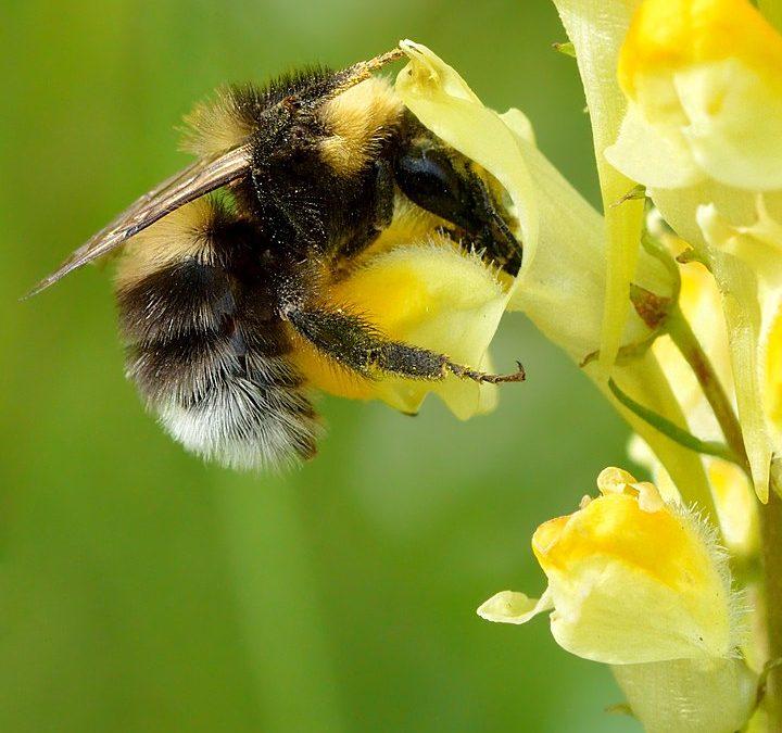 Bienen wären unmittelbar durch genveränderte Organismen betroffen.